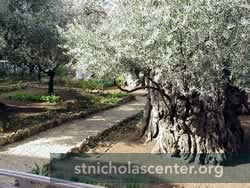 Olive trees in Gethsemene